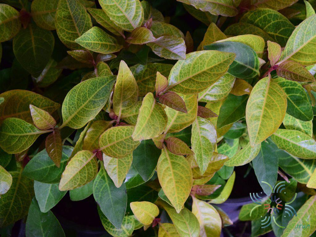 ประกายทอง Pseuderanthemum carruthersii var. reticulatum